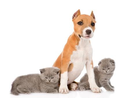 stafford: cucciolo stafford con i gattini isolato su sfondo bianco Archivio Fotografico