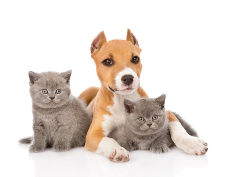 stafford puppy and two kittens lying together  isolated on white background photo