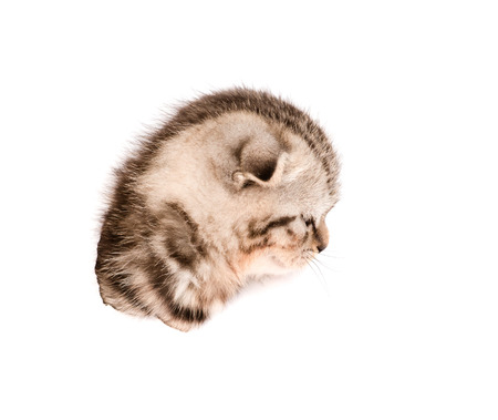 head scottish kitten in paper side torn hole  isolated on white background photo