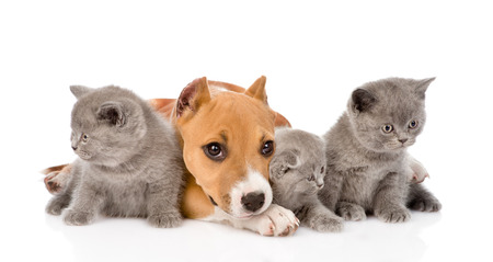 stafford puppy and three kittens lying together  isolated on white background photo