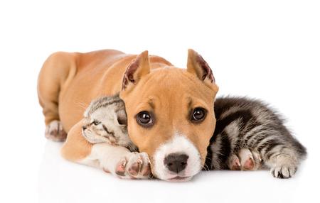 stafford: cucciolo stafford e gattino scozzese insieme isolato su sfondo bianco Archivio Fotografico