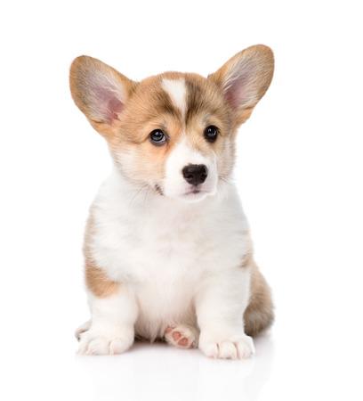 ウェルシュ ・ コーギー ・ ペンブローク子犬座って前に白の背景に分離 写真素材