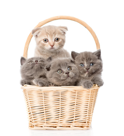 british pussy: group kittens in basket looking at camera  isolated on white background