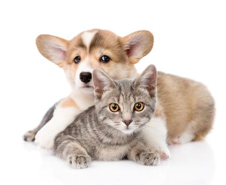 Pembroke Welsh Corgi puppy hugging cat  isolated on white background Stock Photo