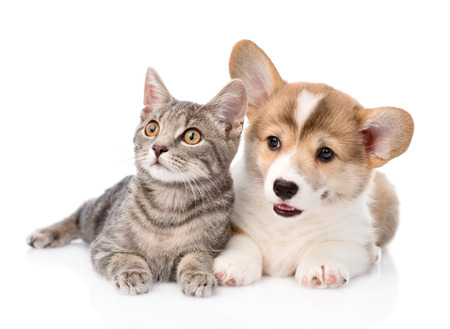 Pembroke Welsh Corgi puppy lying with cat together and looking away  isolated on white background photo