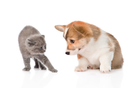 kitten frightened by a dog  Isolated on white background photo
