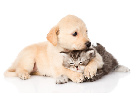 golden retriever puppy dog hugging scottish cat  isolated on white background
