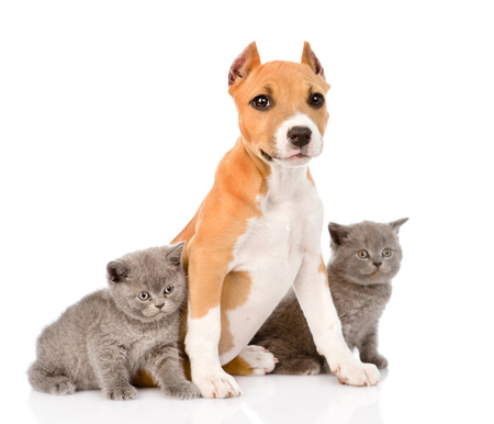 stafford puppy with kittens  isolated on white background photo