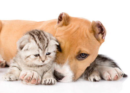 stafford puppy and scottish kitten together  isolated on white background photo