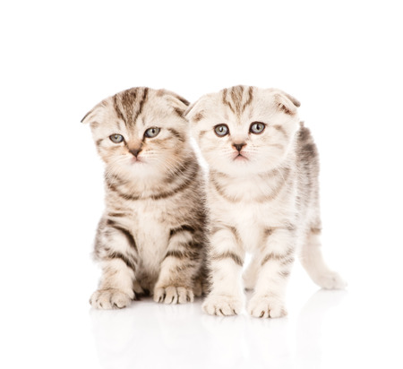 two taby kittens in front  isolated on white background photo