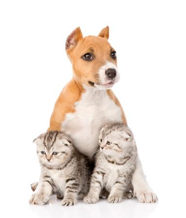 stafford: cucciolo stafford e due gattini scozzesi seduta insieme isolato su sfondo bianco Archivio Fotografico