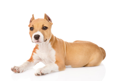 amstaff: portrait staffordshire terrier puppy with cropped ears  isolated on white background