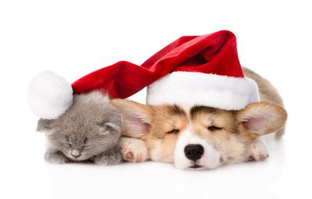 new year cat: sleeping Pembroke Welsh Corgi puppy and kitten with red santa hat  isolated on white background