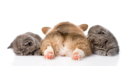 sleeping Pembroke Welsh Corgi puppy and two kittens  isolated on white background Stock Photo