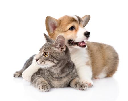 Pembroke Welsh Corgi puppy hugging cat  isolated on white background photo