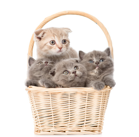 little kittens in basket looking away and up  isolated on white background photo
