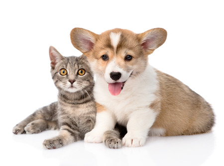 Pembroke Welsh Corgi puppy lying with cat together and looking at camera  isolated on white background