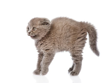 lop eared: frightened baby kitten in profile  isolated on white background Stock Photo