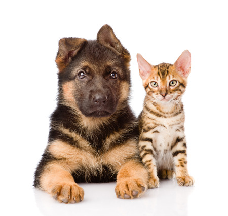 little bengal cat and german shepherd puppy dog lying together  isolated on white background