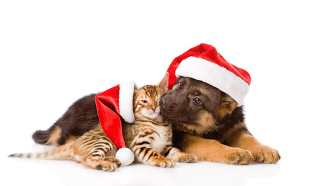 german shepherd puppy and bengal kitten sitting in profile  isolated on white background photo