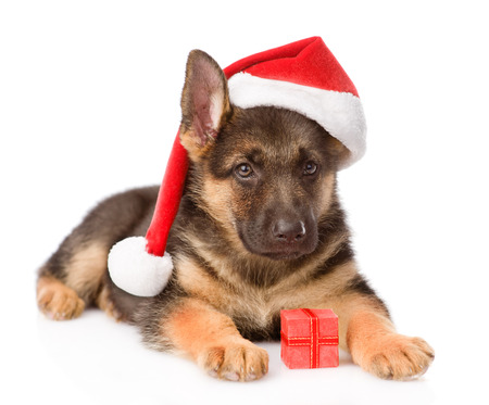 alsatian shepherd: German Shepherd puppy with red hat and gift box  isolated on white background