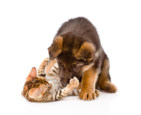 clutches: german shepherd puppy dog playing with little bengal cat  isolated on white background Stock Photo