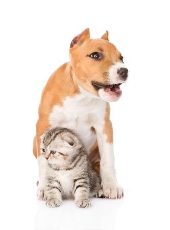 stafford: abbaiare del cane cucciolo stafford e piccolo gatto seduta insieme isolato su sfondo bianco Archivio Fotografico