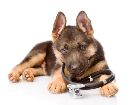 German Shepherd puppy with a stethoscope on his neck  isolated on white background photo
