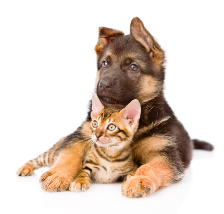 prionailurus: german shepherd puppy dog embracing little bengal cat  isolated on white background Stock Photo