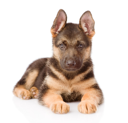alsatian shepherd: German Shepherd puppy lying in front  isolated on white background