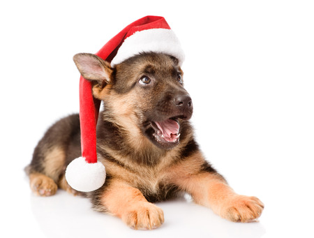 dog christmas: German Shepherd puppy with red hat looking up  isolated on white background Stock Photo