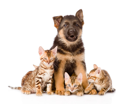 german shepherd puppy and bengal kittens looking at camera  isolated on white background photo