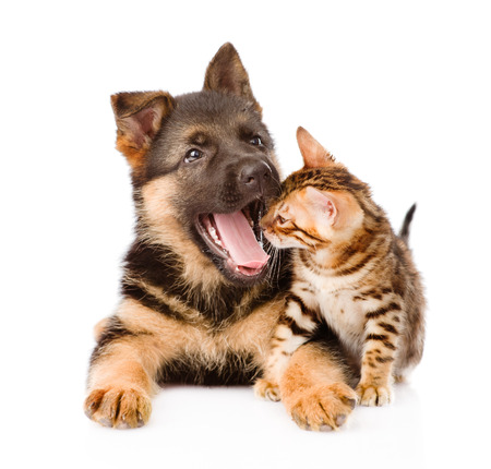 yawning german shepherd puppy dog and little bengal cat together  isolated on white background