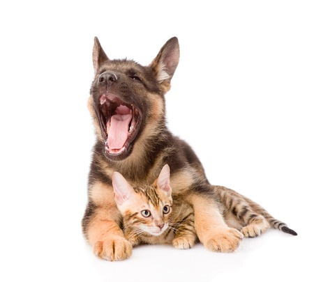 prionailurus: little bengal cat and yawning german shepherd puppy dog together  isolated on white background