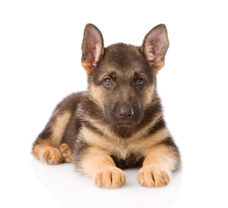 German Shepherd puppy lying in front  isolated on white background photo