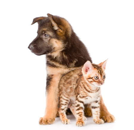 prionailurus: bengal kitten and german shepherd puppy dog sitting together  isolated on white background