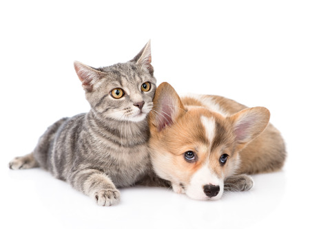Pembroke Welsh Corgi puppy lying with cat together  isolated on white background Stock Photo - 30937727