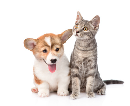 Pembroke Welsh Corgi puppy sitting with cat together  isolated on white background photo