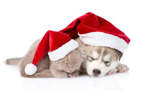 sleeping scottish kitten and Siberian Husky puppy with santa hat. isolated on white background photo