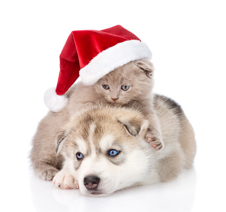 Scottish kitten and Siberian Husky puppy with santa hat. isolated on white background Stock Photo