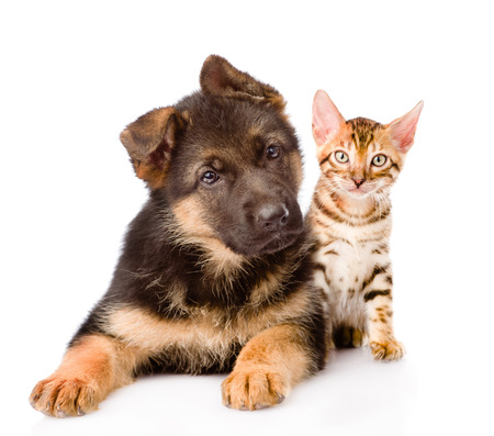 bengal cat and german shepherd puppy dog looking at camera. isolated on white background photo