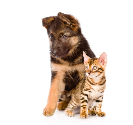 german shepherd puppy and bengal kitten looking away. isolated on white background photo