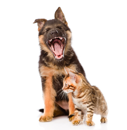 yawning german shepherd puppy and bengal cat together. isolated on white background photo