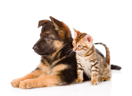 german shepherd puppy and bengal kitten in profile. isolated on white background photo