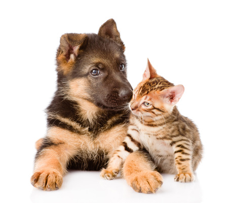 little bengal cat and german shepherd puppy dog lying together. isolated on white background Stock Photo