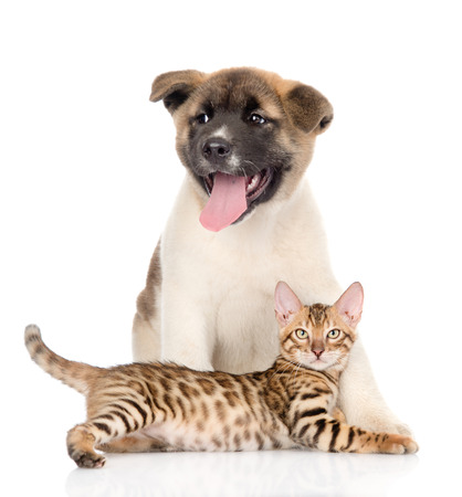 animals together: Japanese Akita inu puppy dog and bengal kitten together. solated on white background Stock Photo