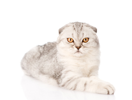 scottish: lop-eared scottish cat looking at camera. isolated on white background
