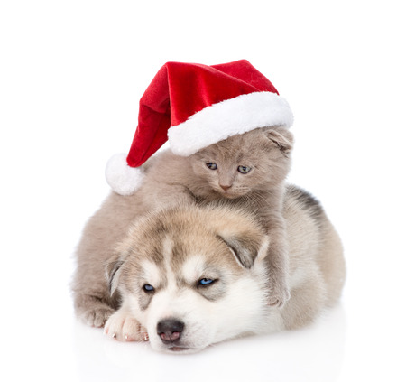 Scottish kitten and Siberian Husky puppy with santa hat. isolated on white background photo