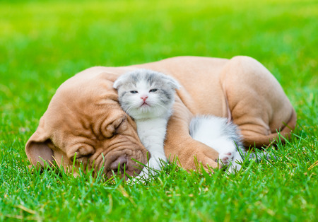 Sleeping Bordeaux puppy dog hugs newborn kitten on green grass photo