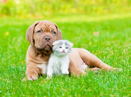 puppy love: Bordeaux puppy dog with newborn kitten on green grass